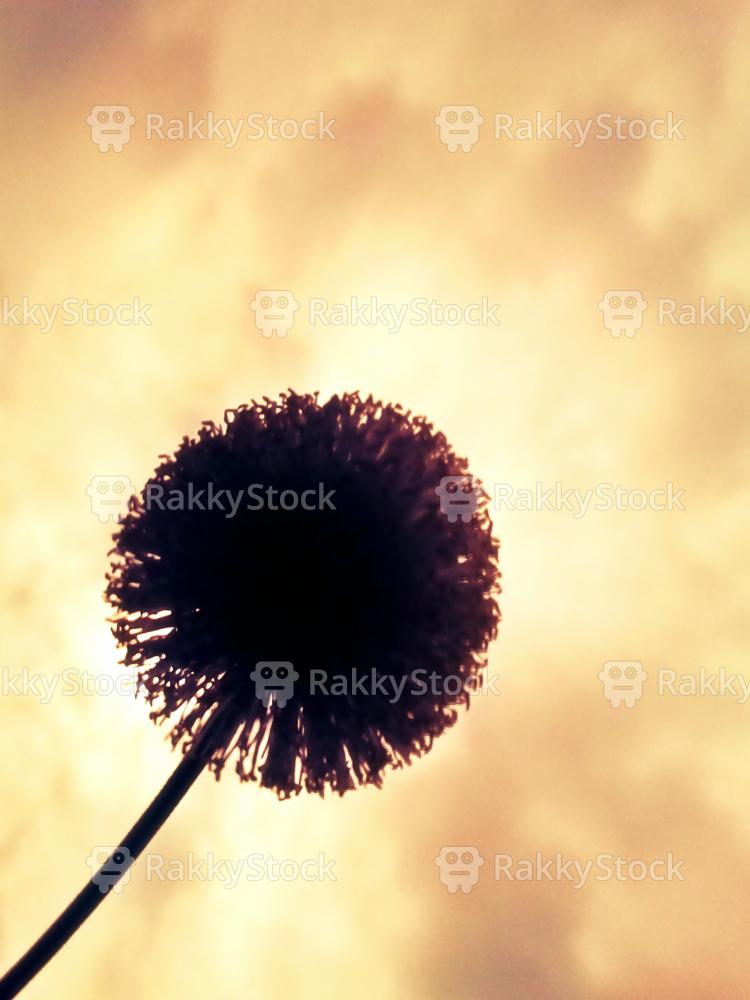 Silhouette of dandelion in sky