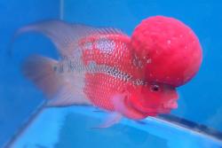 Redhead Cichlid Fish